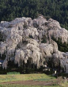 小倉の枝垂桜の写真素材 [FYI03269185]