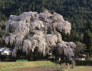 小倉の枝垂桜の写真素材 [FYI03269188]