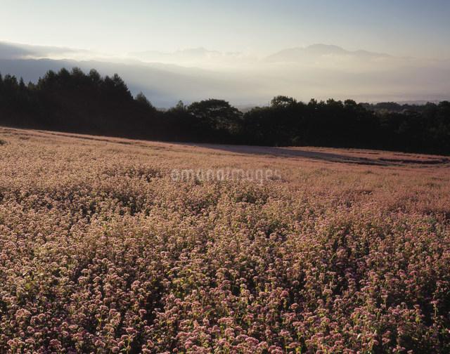 赤ソバの花畑の写真素材 [FYI03269225]