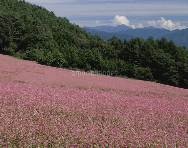 赤ソバの花畑の写真素材 [FYI03269226]
