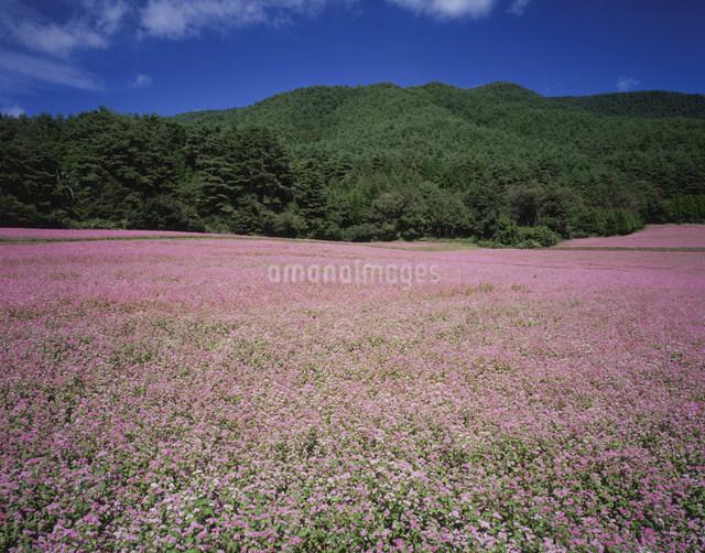 赤ソバの花畑の写真素材 [FYI03269229]