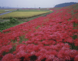 矢勝川堤のヒガンバナの写真素材 [FYI03269231]