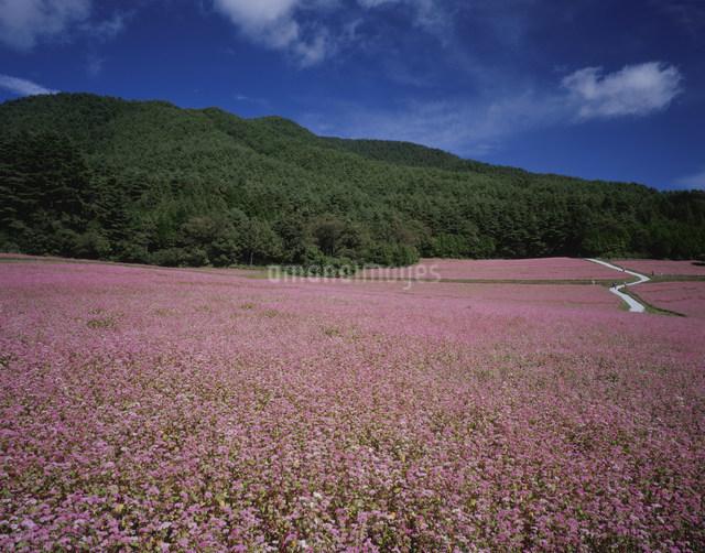 赤ソバの花畑の写真素材 [FYI03269232]