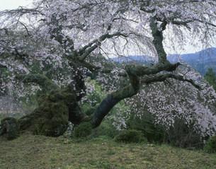 瀧蔵神社の権現桜の写真素材 [FYI03269274]