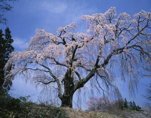 八十内かもん桜の写真素材 [FYI03269278]