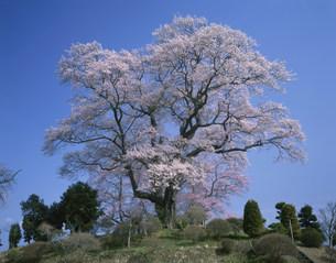 弘法桜の写真素材 [FYI03269279]
