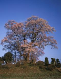 夕陽を浴びる弘法桜の写真素材 [FYI03269280]