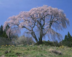 芹ケ沢桜の写真素材 [FYI03269281]