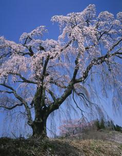 八十内かもん桜の写真素材 [FYI03269282]