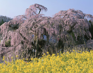 三春の滝桜と菜の花の写真素材 [FYI03269283]