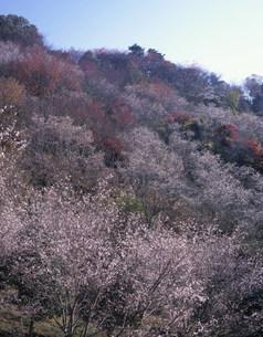 桜山公園の冬桜の写真素材 [FYI03269339]