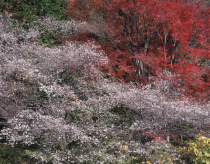 四季桜と紅葉の写真素材 [FYI03269340]
