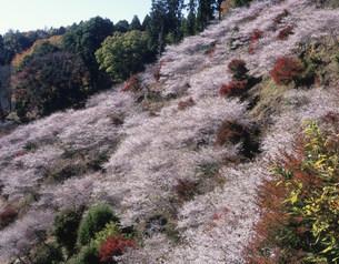 四季桜の写真素材 [FYI03269342]