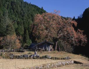 柿の木のある風景の写真素材 [FYI03269349]