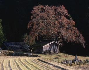 柿の木のある風景の写真素材 [FYI03269350]