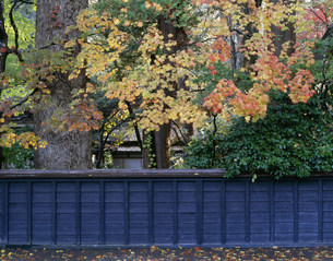 紅葉と青柳家の黒板塀の写真素材 [FYI03269455]