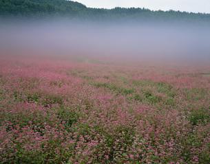 赤ソバ咲く霧の高原 赤ソバの里の写真素材 [FYI03269503]