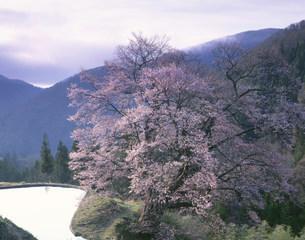 駒つなぎの桜と水田の写真素材 [FYI03269631]