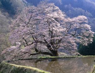 駒つなぎの桜と水田の写真素材 [FYI03269654]