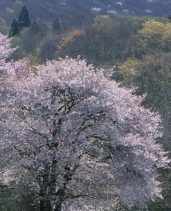 光る山桜と芽吹きの木々 西蔵王牧場の写真素材 [FYI03269689]