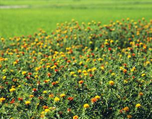 紅花の花畑の写真素材 [FYI03270088]
