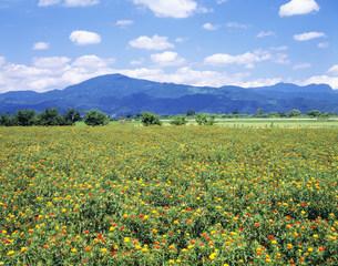 紅花の花畑の写真素材 [FYI03270100]