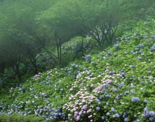 アジサイと木々 板取村あじさい園の写真素材 [FYI03270125]