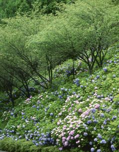 アジサイと木々 板取村あじさい園の写真素材 [FYI03270130]
