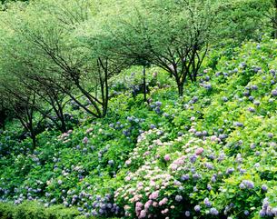 アジサイと木々 アジサイ園の写真素材 [FYI03270155]