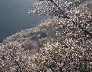 湯河原梅林 幕山公園の写真素材 [FYI03270246]
