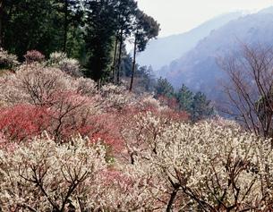 湯河原梅林 幕山公園の写真素材 [FYI03270267]
