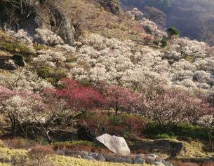 湯河原梅林 幕山公園の写真素材 [FYI03270278]