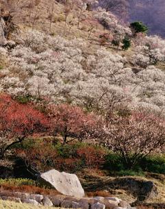 湯河原梅林 幕山公園の写真素材 [FYI03270280]