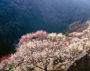 湯河原梅林 幕山公園の写真素材 [FYI03270287]