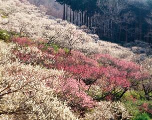 湯河原梅林 幕山公園の写真素材 [FYI03270301]