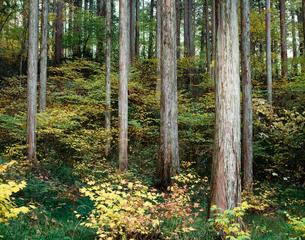 秋の檜林 阿寺渓谷の写真素材 [FYI03270305]