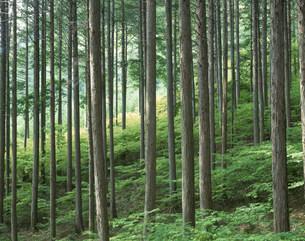 新緑の檜林の写真素材 [FYI03270334]