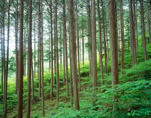 新緑の檜林 阿寺渓谷の写真素材 [FYI03270374]