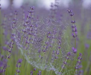 クモの巣と水滴の写真素材 [FYI03270590]