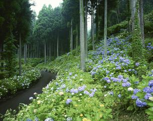 アジサイ咲く杉林と道 板取村の写真素材 [FYI03270855]