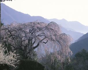朝の秋葉の枝垂れ桜 仁淀村4月の写真素材 [FYI03270865]