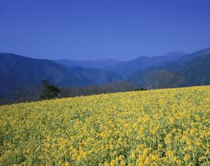 菜の花畑と山並み 翠波高原4月の写真素材 [FYI03270872]