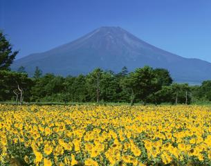 ヒマワリ畑と富士山花の都公園の写真素材 [FYI03270877]