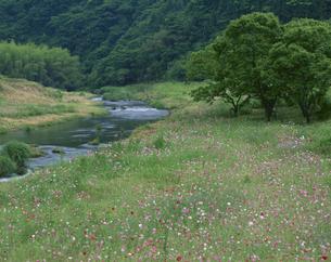 ポピー咲く神戸川 頓原町の写真素材 [FYI03270881]