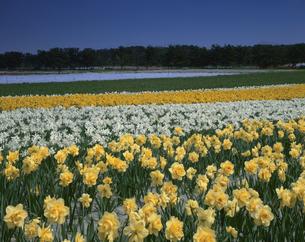水仙の花畑 中条町 4月 新潟県の写真素材 [FYI03270896]