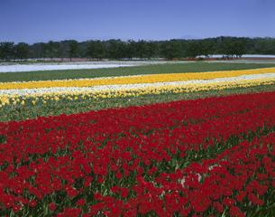 チューリップと水仙畑 中条町  新潟県の写真素材 [FYI03270898]