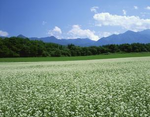 ソバ畑 下郷町 9月 福島県の写真素材 [FYI03270899]