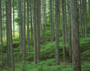 新緑の檜林 阿寺渓谷 大桑村  長野県の写真素材 [FYI03270911]