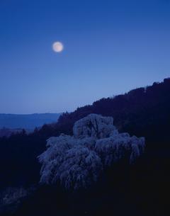 夜桜と月 小田原 神奈川県の写真素材 [FYI03270912]