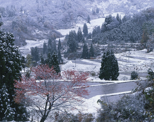 紅葉の木と初雪の山村 松之山町 新潟県の写真素材 [FYI03270913]